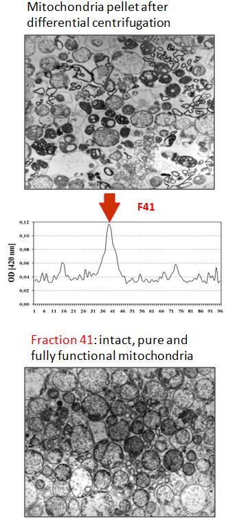 mitochondria ZE 01